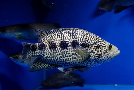 Parachromis (Cichlasoma) managuensis