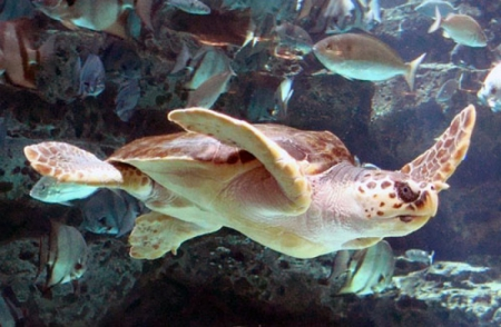 loggerhead-sea-turtle