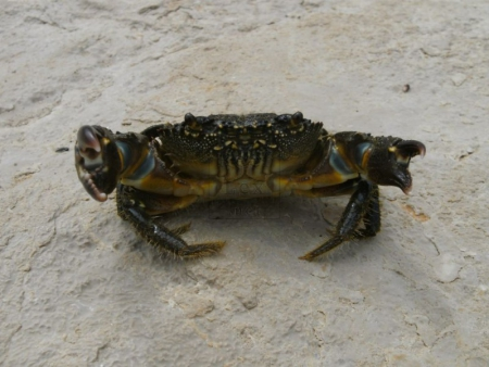 warty_crab