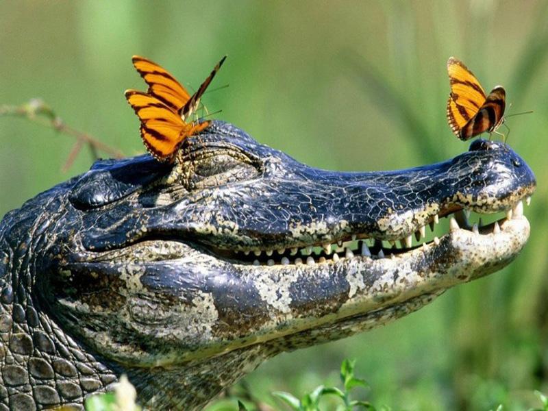 Интересно о крокодилах
