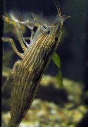 Креветка бамбуковая