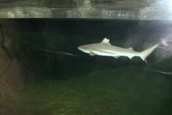 Акула рифовая черноплавничная