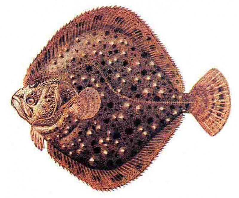 Калкан черноморский