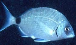 Морской карась (ласкирь)