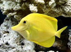 Зебрасома желтая