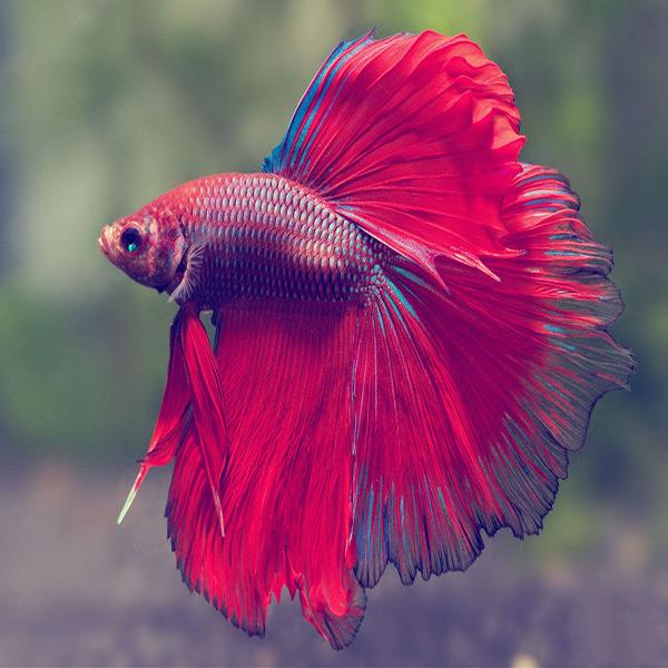 Бойцовая рыбка, илисиамский петушок